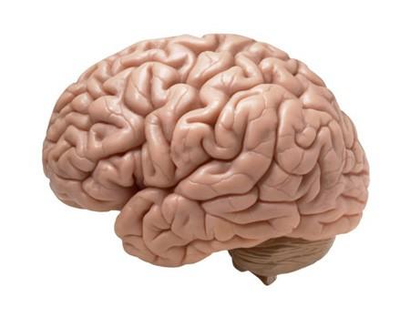 تحقیق روی علت بزرگی مغز انسان